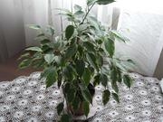 цветы фикус бенжамина