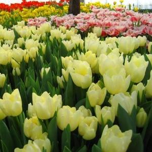 Продам тюльпаны к 8 марта!!!