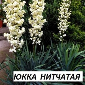 Продам многолетние уличные цветы и виноград (фото внутри)