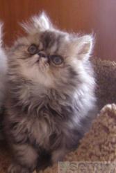персидские котята от чистокровных родителей