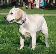 Продам щенка Лабродора  срочно! не дорого