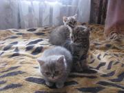 Очаровательные шотландские котята.