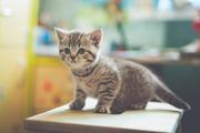 Клубные британские короткошерстные котята с документами.